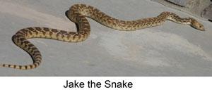 jake-the-snake-web